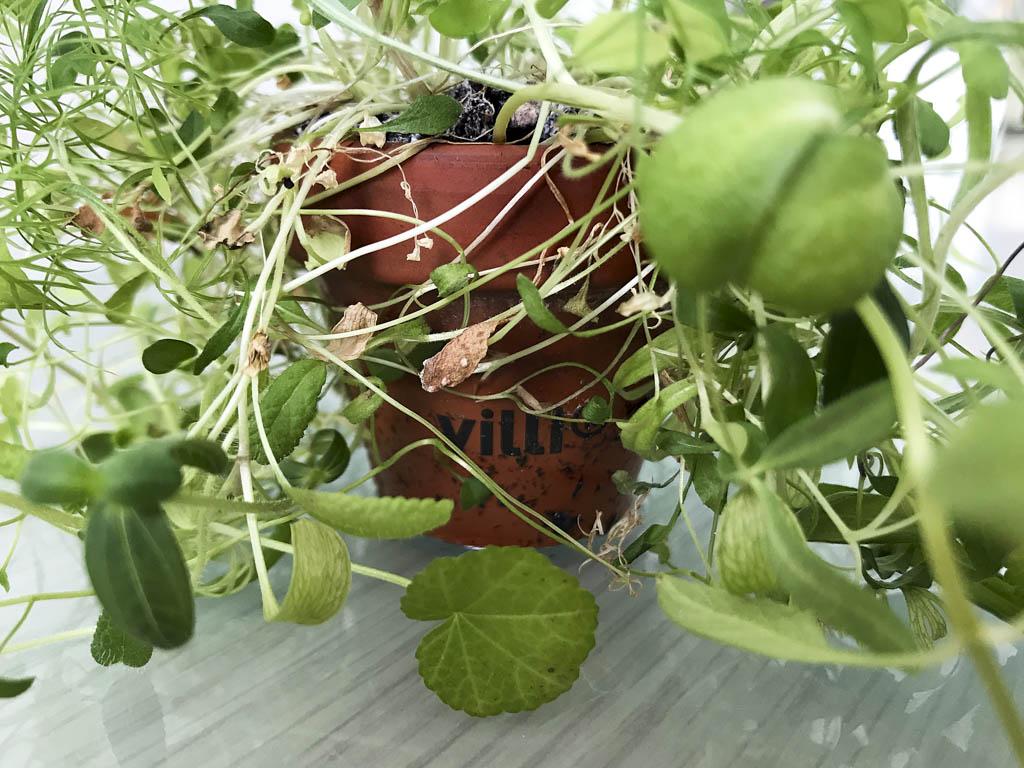 07082018-IMG_2518-plante didier
